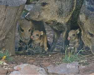Baby Javelinas are dwarfed by the adults.