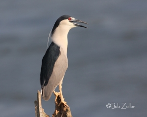 A happy Black-crowned Night Heron from my archives.  June 2008