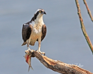 Osprey with fresh kill.