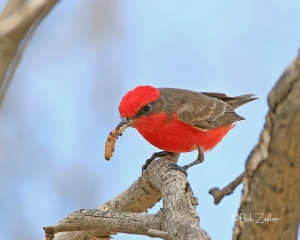 Vermilion Flycatcher from my archives.  March 2014
