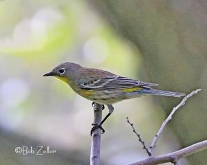 Yellow-rumped Warbler - Audubon variety