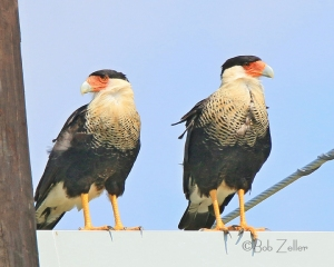 Two Crested Caracaras share a utility pole crossbar.