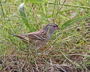 White-crowned Sparrow in the grass at San Angelo SP.