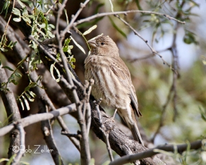 female House Finch in tree.