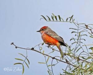 first-year male Vermilion Flycatcher