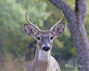 White-tailed Deer approached my mobile blind, AKA my car.