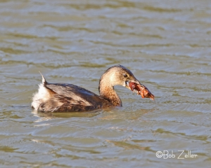 Pied-billed Grebe with crawdad (crawfish).