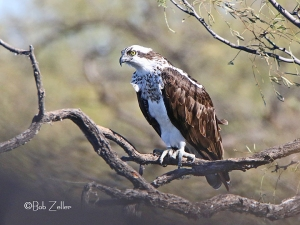 Osprey on Thanksgiving Day.  He loves this spot to do his hunting.