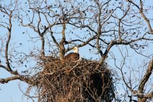 Original Eagle on nest