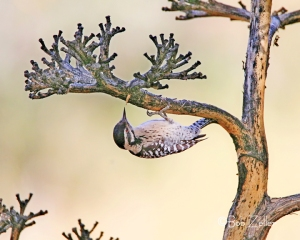Female Ladder-backed Woodpecker dangling from branch of a century plant.