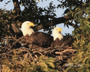 Pair of Bald Eagles on nest.