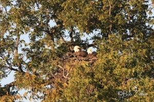 Original view of Bald Eagle nest.