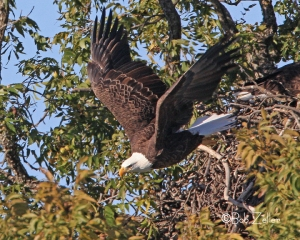 Bald Eagle leaving nest.