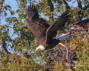 Bald Eagle leaving nest.