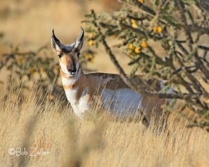 Pronghorned Antelope