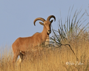 Aoudad on mountain side.