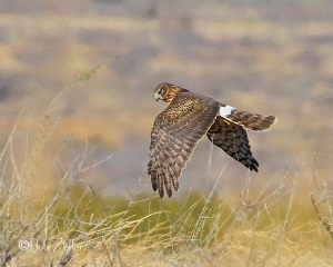 Northern Harrier on the hunt for prey.