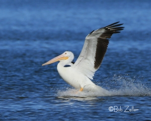An American Pelican comes in for a landing.