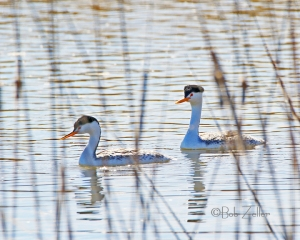 A pair of Clark's Grebes swim through the reeds.