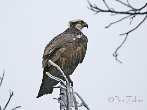Osprey - note ice-covered branches.