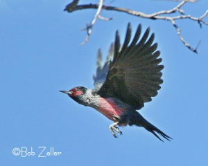 Lewis's Woodpecker in flight.