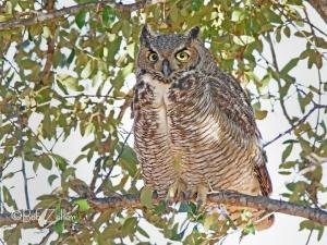 Great Horned Owl portrait.