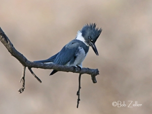 Belted Kingfisher watching for a meal.
