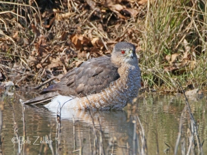 Cooper's Hawk enjoying a little bath.