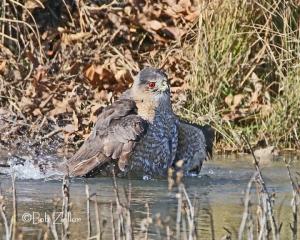 Cooper's Hawk, just splashing around.