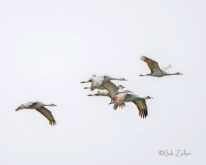 Flyover of some Sandhill Cranes