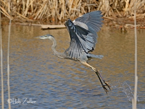 Great Blue Heron taking flight.