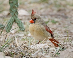 female Northern Cardinal eyeballing that upside-down peace sign created by that hanging branch of a Cholla plant.