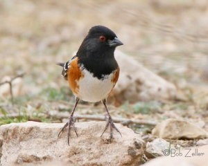A feisty Spotted Towhee