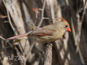 cropped female Northern Cardinal