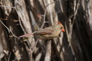 Original female Northern Cardinal