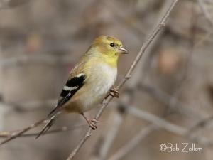 American Goldfinch - adult breeding female