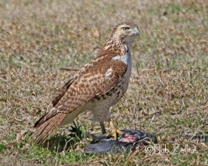 Red-tailed Hawk with deceased prey.