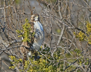 cropped Red-tailed Hawk