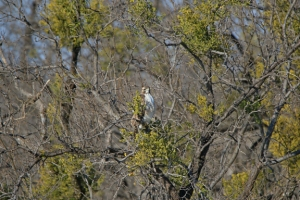 Uncropped image of a Red-tailed Hawk