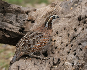 Northern Bobwhite - male