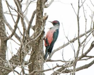 Lewis Woodpecker