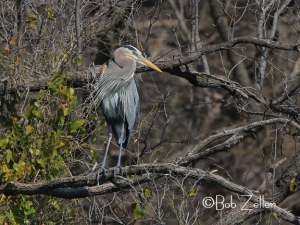Greata Blue Heron
