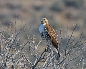 Red-tailed Hawk along the highway.