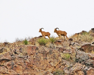 Aoudads, also know as Barbary Sheep, stand on a ridge near Wild Rose Pass.