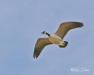 A Canada Goose flies overhead.