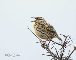 A happy Western Meadowlark sings his song.