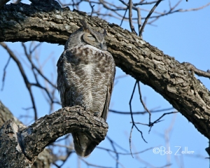 A sleeping Great Horned Owl.