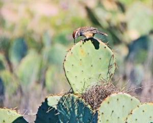 IMG_0823-net-wren-cactus-bob-zeller
