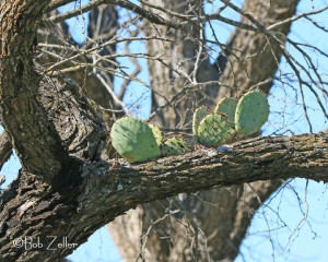 Prickly Pear growing from mesquite branch.