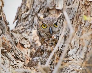 Great Horned Owl in her nest.